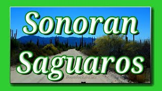 Full Time RV Living: Towering Saguaros in the Sonoran Desert