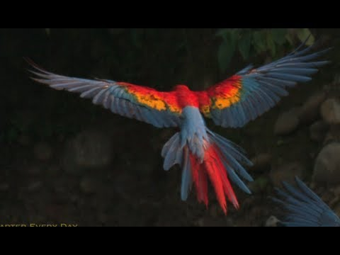 macaws-in-slowmotion-rainforest-research-smarter-every-day-60.html