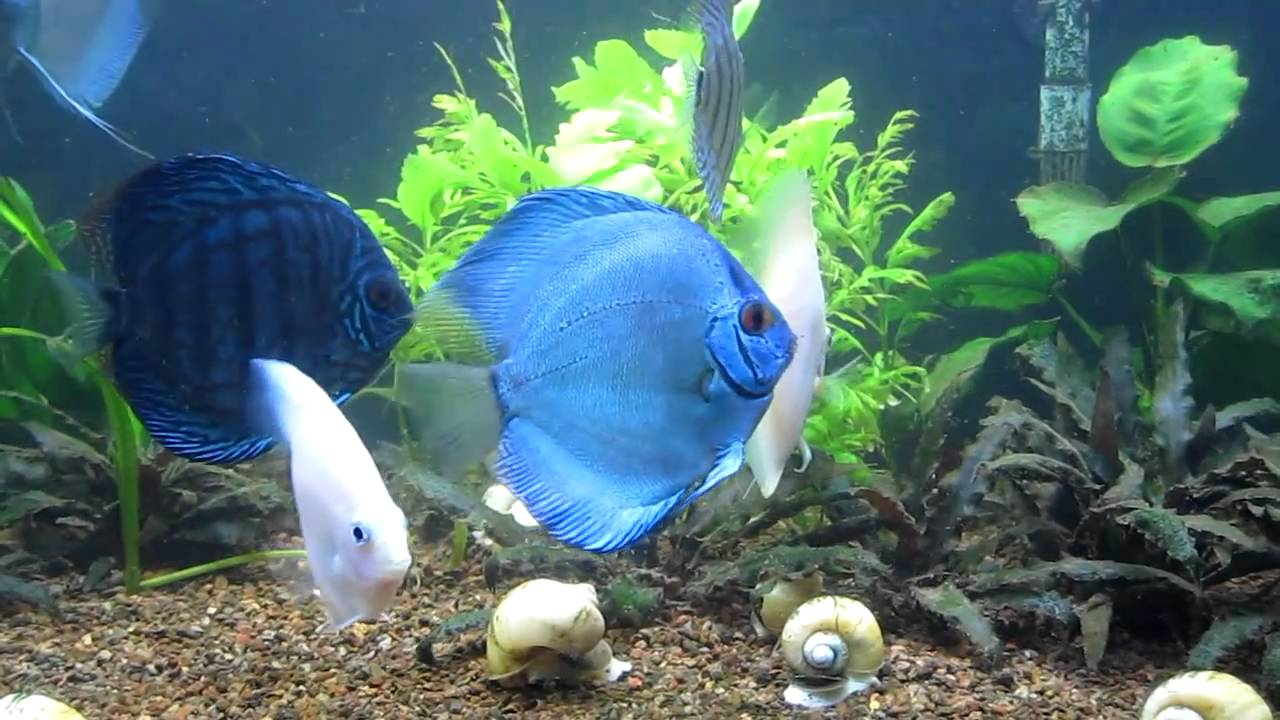 Blue Discus 90 Gallons Tank Youtube