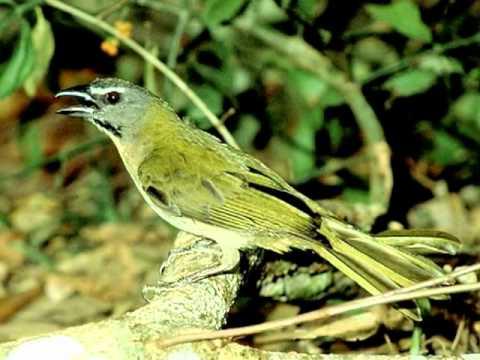 Aves do Brasil - O canto harmonioso do Trinca-Ferro ou Picharro.
