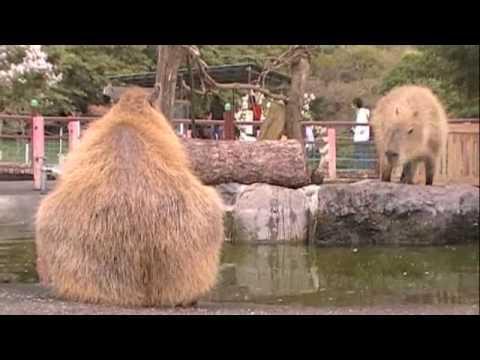あくびをして、まったりなカピバラさん [Capybara]