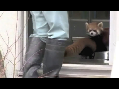 Red Panda gets scared by zookeeper