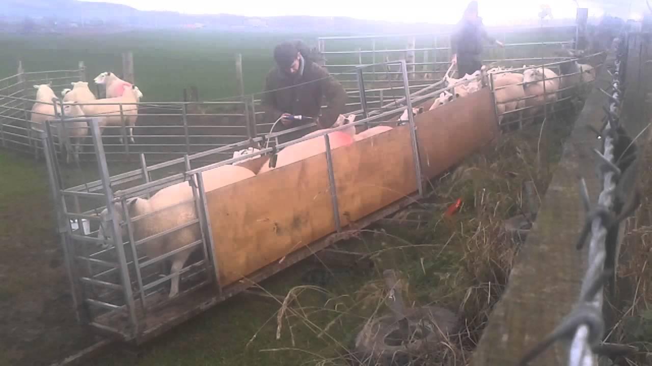Fowrass Compact Sheep Handling Trailer Youtube