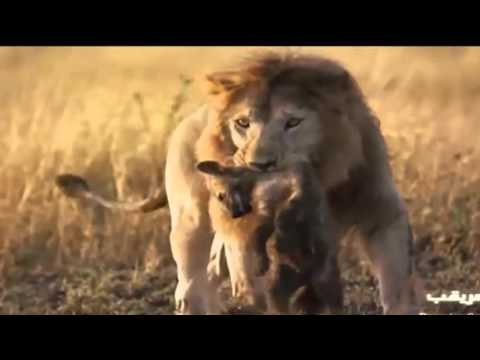 ライオンの画像 p1_38