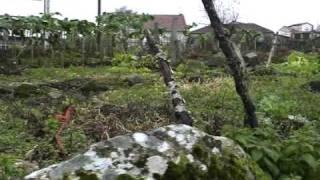 Camarón de la Isla - Canastera (Canastera)