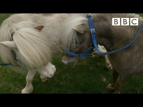 Mating Miniature Horses - Ronnie's Animal Crackers: Episode 1 - Bbc One video