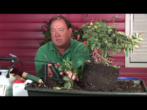 Growing Roses : How to Reproduce Roses