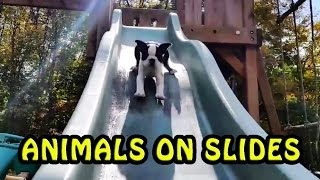 The Ultimate Animals Playing on Slides Compilation [NEW]