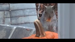 Cute Squirel steals our pumpkins on halloween!!! He talks kinda funny.