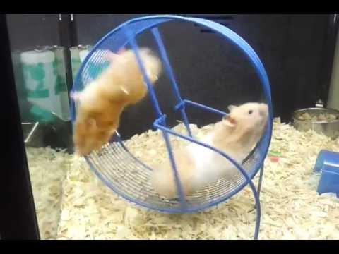 Petsmart Hamster Wheel Funny Hamsters at Petsmart