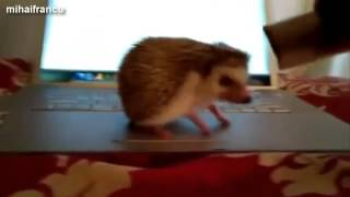 Cute And Funny Hedgehog Videos Compilation 2014 NEW
