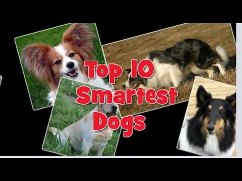 Agility Dogs Breeds Top 10 Smartest Dog Breeds in