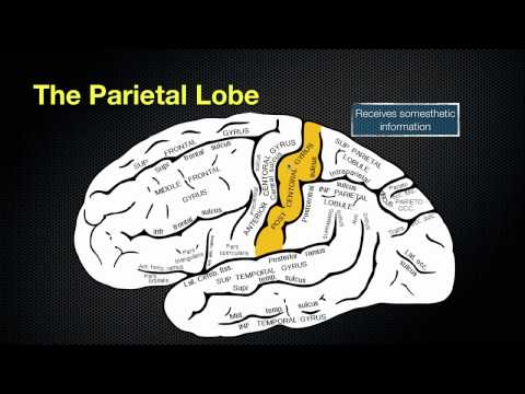 066 The Anatomy and Function of the Parietal Lobe thumbnail