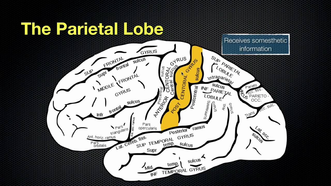 066 The Anatomy and Function of the Parietal Lobe - YouTube