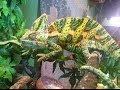 Veiled Chameleon Care
