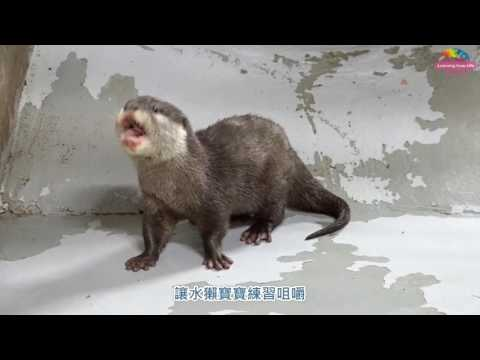 台灣-臺北市立動物園-EP 157 寒假結束準備開學囉!小爪水獺寶寶學吃魚
