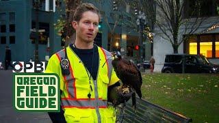 Urban Falconry In Portland Oregon