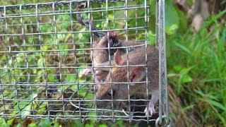 Kinh nghiệm, mẹo nhỏ bẫy chuột, tìm đường mòn. Dính Con chuột kẹt, té đái luôn | Săn bắt SÓC TRĂNG |