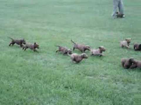 Dirty_Dozen_Chesapeake_Puppies