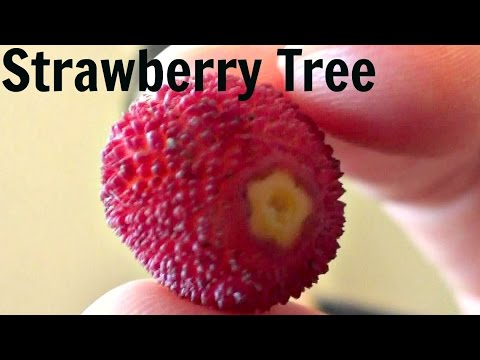 Strawberry Tree Fruit Review (Arbutus Unedo) - Weird Fruit Explorer
