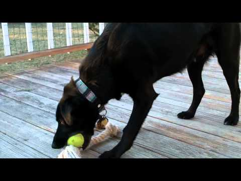 Buddy vs. the tennis ball and rope