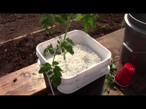 Starting Up Hydroponic Dutch Bucket Tomatoes