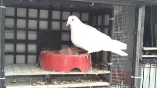 White racing pigeons feeding there babies