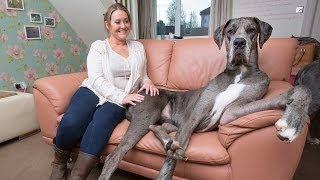 Britain's Biggest Dog