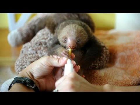 Sloths find safe haven at Costa Rican sanctuary