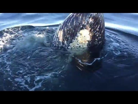 Thrilling Humpback Whale experience
