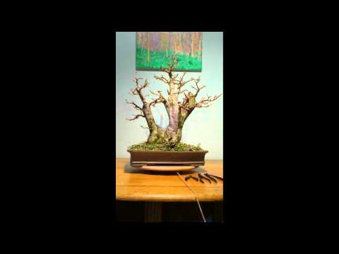 Ligustrum Bonsai, first syling