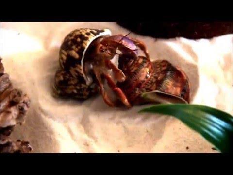 Land Hermit Crab Changing Shell