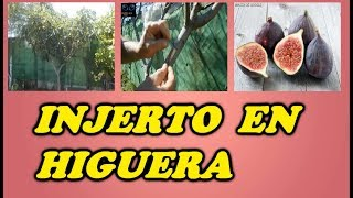 Como Hacer Un Injerto De Yema En Una Higuera // How to graft a fig tree