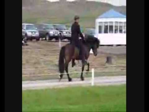 Fast Racking horse,tolt,speed pacing Icelandic horses,