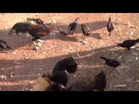 Leeya law chicken farm udonthani Thailand