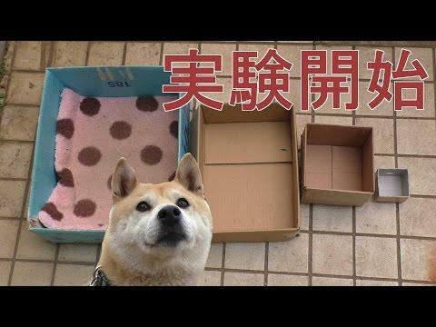 柴犬小春、実験!ハウスが小さくなったらどうする??