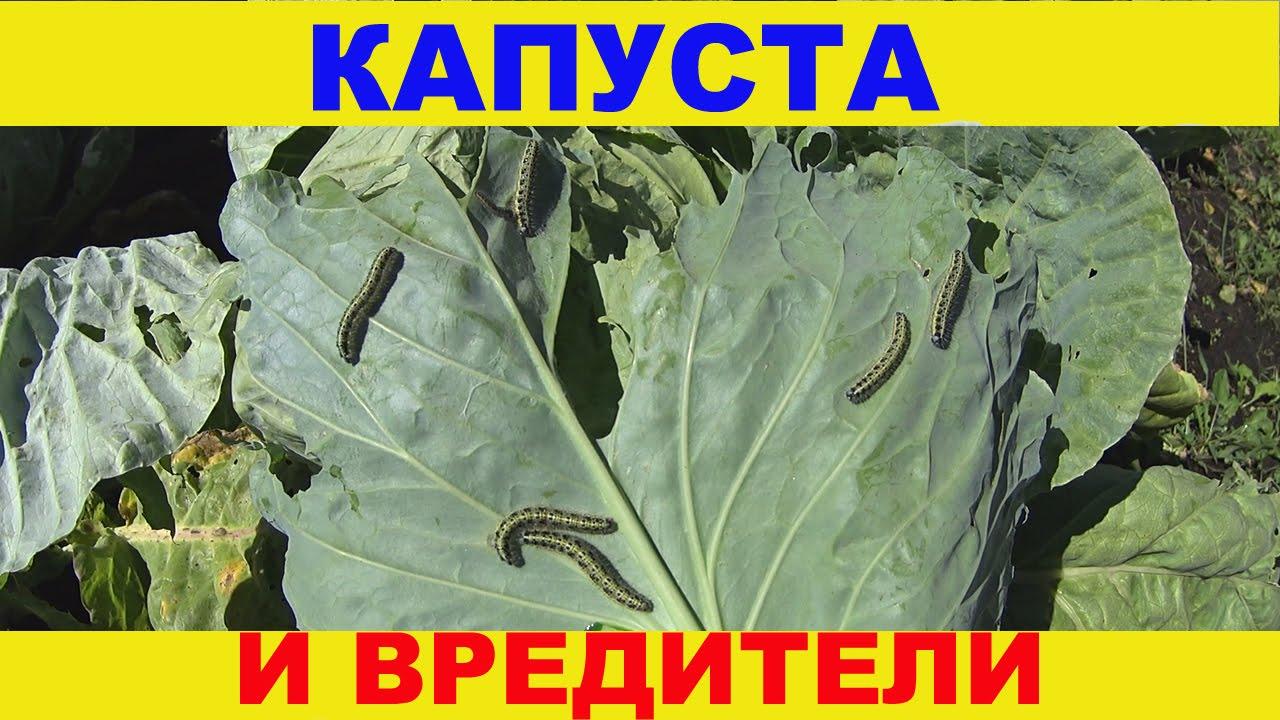 нашатырь от вредителей капусты