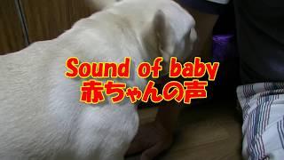ご機嫌な赤ちゃんと、なめ過ぎる犬!A baby sound with a good mood and a dog licking too much!ポメラニアン&フレンチブルドッグ Pomera