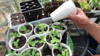 A Very Cheap Way to Start Peas Indoors: Inexpensive - MFG 2014