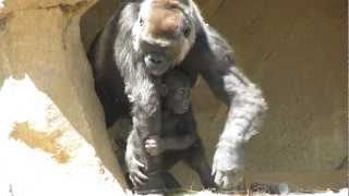 Cutest Baby Gorilla Ever with Mom and Dad