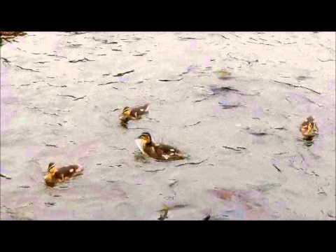2011年7月24日 釧路市動物園 カモ親子