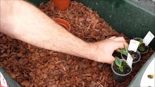 Repotting or re potting orchid seedlings - in this case Laelia pumila seedlings