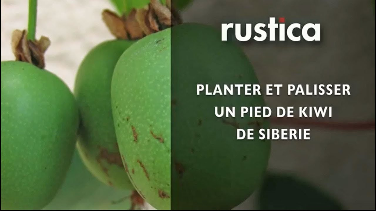 Planter et palisser un pied de kiwi de sib rie youtube - Planter un pied de vigne dans son jardin ...