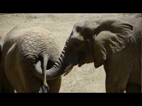 Elephant Eating a Stick Elephant Eats Poop hd