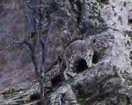 First ever video of Snow Leopards in the wild