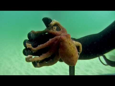 Two Spot Octopus displaying defensive techniques