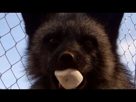 Fox loves marshmallows