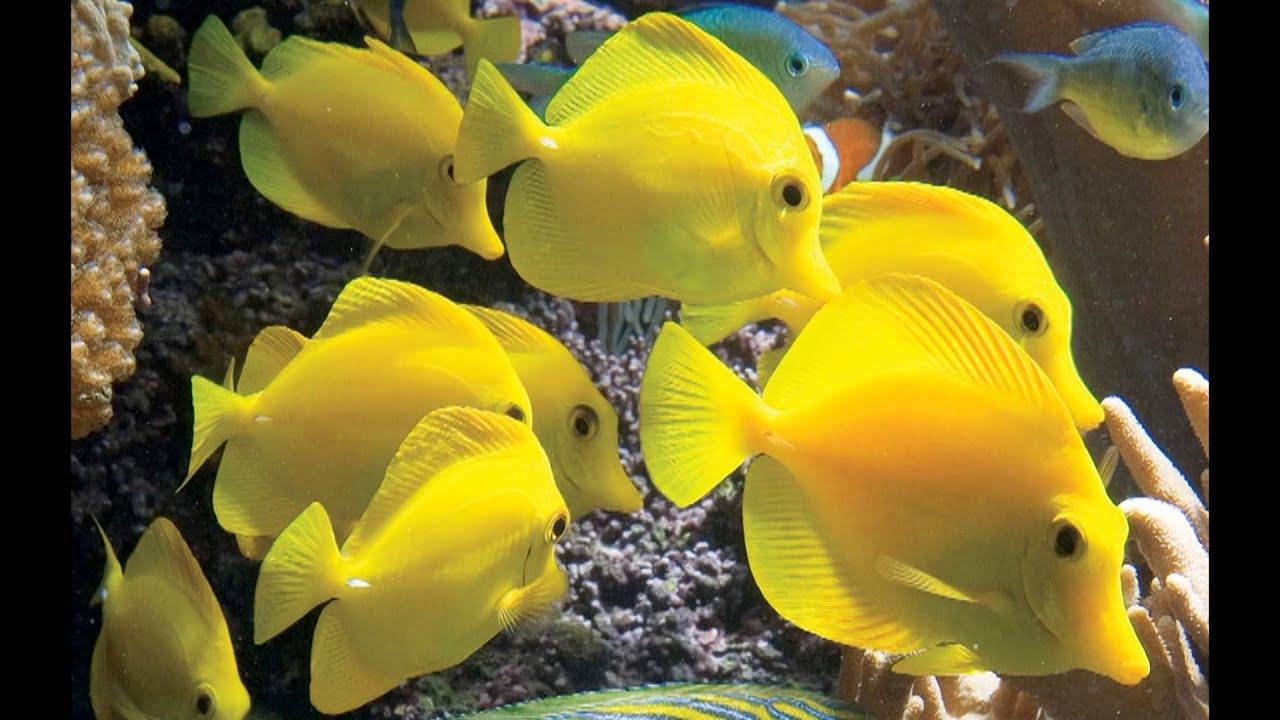 Yellow tang youtube for Yellow tang fish