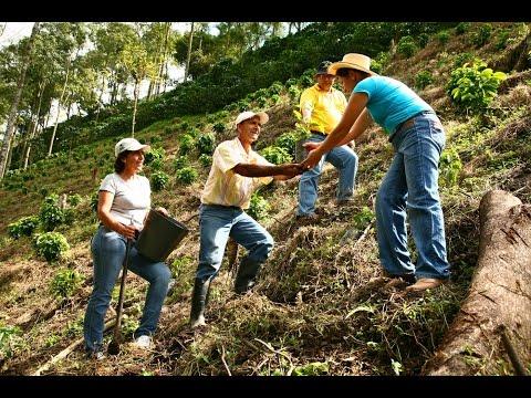 Выращивание кофе  Робуста и Арабика