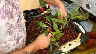 Re potting and dividing a Bulbophyllum orchid